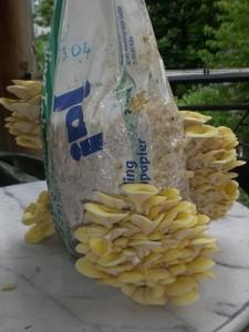 Speisepilze von Grund auf selber züchten @ Gärtnerei Echinos |  |  |
